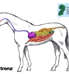 tour the equine digestive tract [ 3653 x 2735 Pixel ]