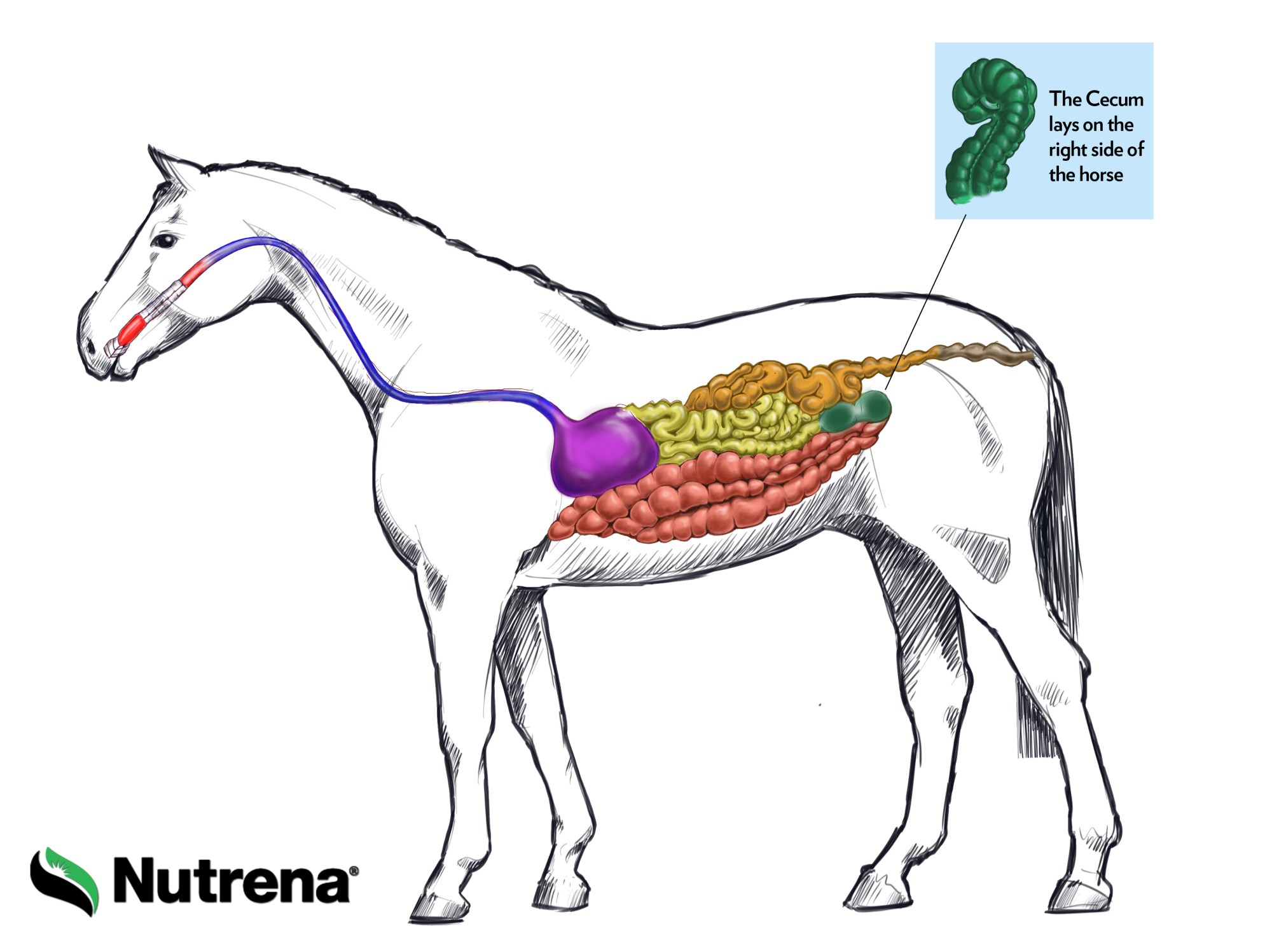 hight resolution of tour the equine digestive tract