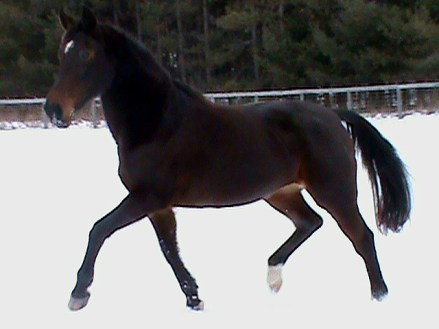 standardbred mare trot