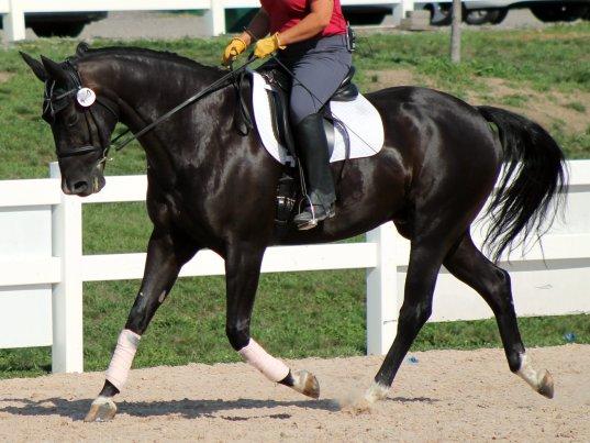 horse riding impulsion