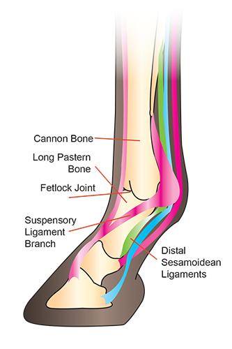 front leg ligament diagram h13 bulb wiring fetlock lameness it s importance the horse magazine 50