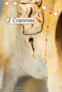 Crannies or Spaces between Horse Teeth