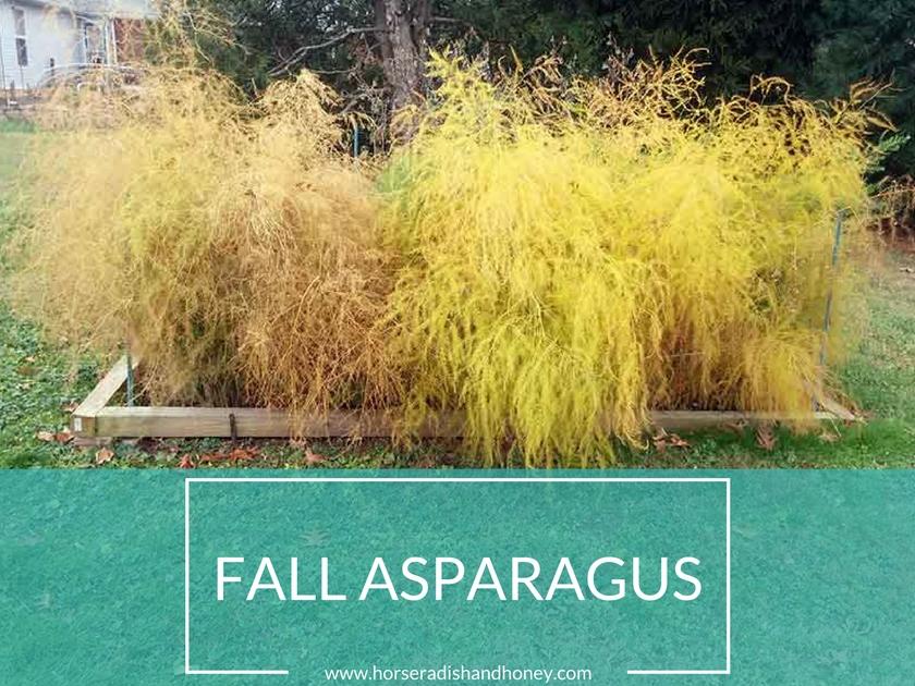Fall Asparagus Patch - Horseradish&Honey.com