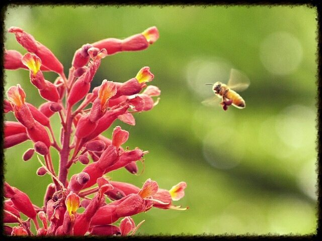 Picture of bee getting ready to land on Dwarf Red Buckeye Tree