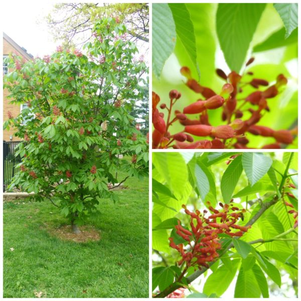 Pictures of a Dwarf Red Buckeye Tree in Bloom