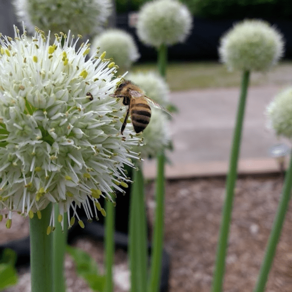 Honeybee on an Egyptian Walking Onion flower. Picture taken in Cincinnati, Ohio for Horseradish & Honey blog.