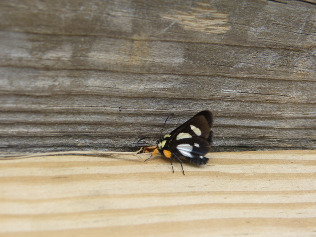 Eight-spotted Forester moth spotted at Hope Springs Institute in Ohio