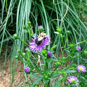 Bee on an Aster Flower | Horseradish & Honey