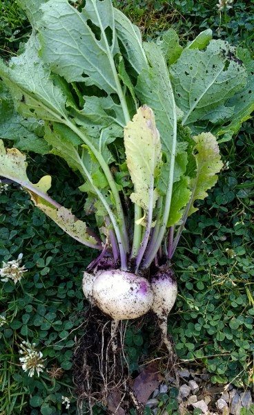 Turnips Just Harvested | Horseradish & Honey