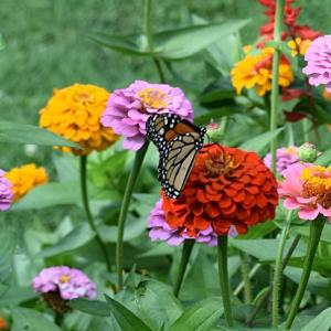 Monarch Butterfly on Zinnia | Horseradish & Honey