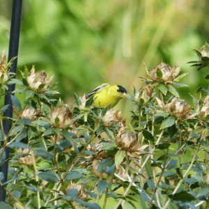 Goldfinch on Safflower | Horseradish & Honey