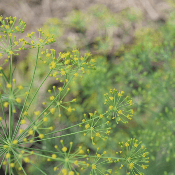 Blooming Dill | Horseradish & Honey