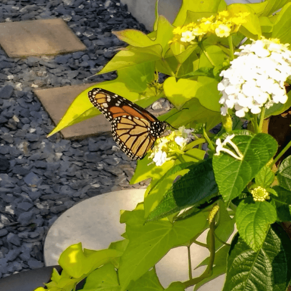 Monarch Butterfly on Lantana Flower | Horseradish & Honey