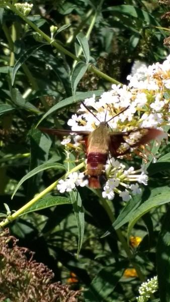Hummingbird Moth   Horseradish & Honey