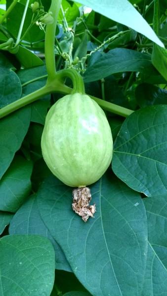 Surprise Acorn Squash | Horseradish & Honey