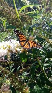 Monarch Butterfly on Butterfly Bush | Horseradish & Honey