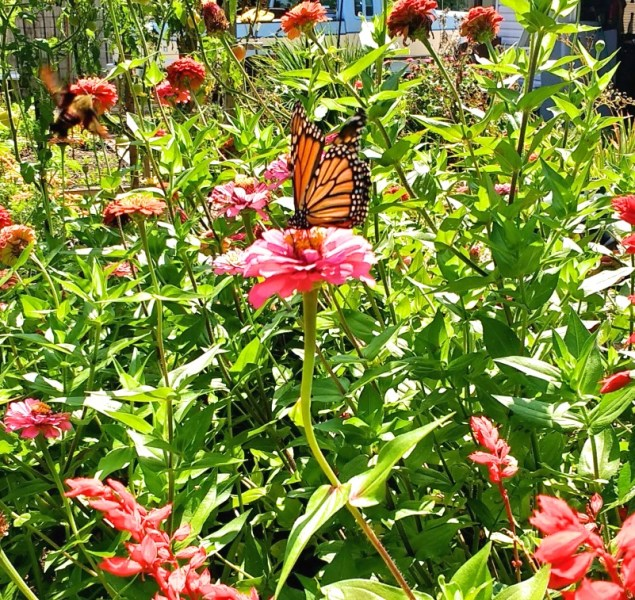 Pink Zinnia Flower with Monarch Butterfly | Horseradish & Honey