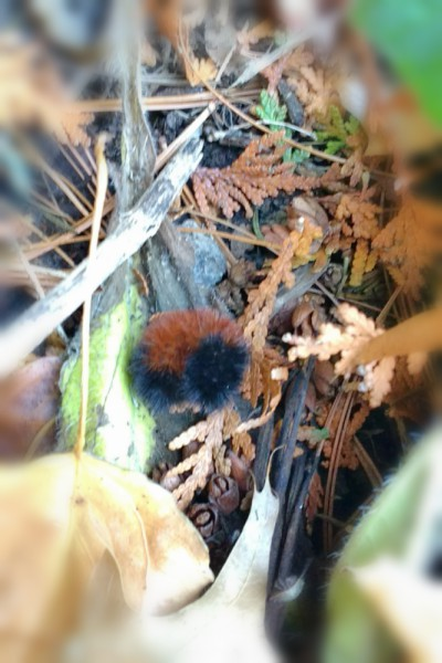 Wooly bear caterpillar in the leaves