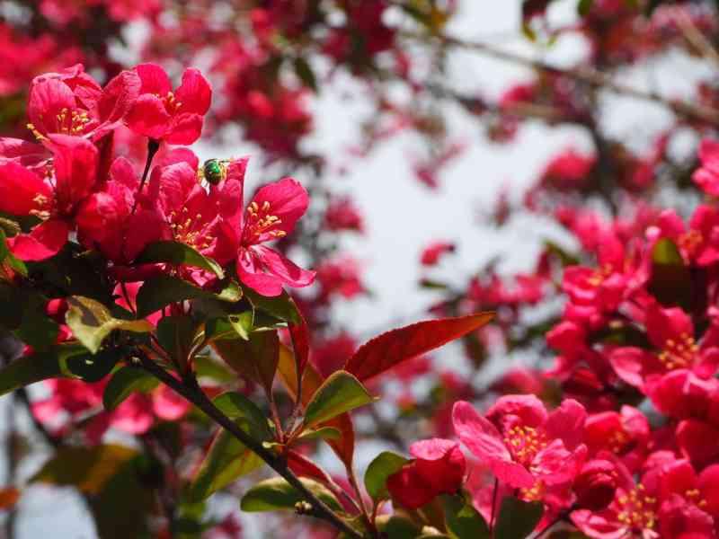 Crabapple Blossom | Horseradish & Honey Blog