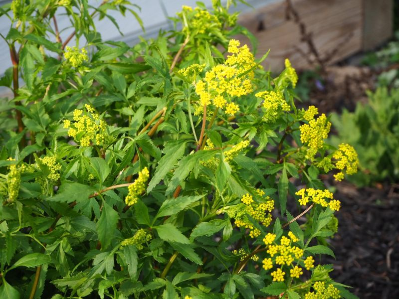 Golden Alexanders Blooming | Horseradish & Honey Blog