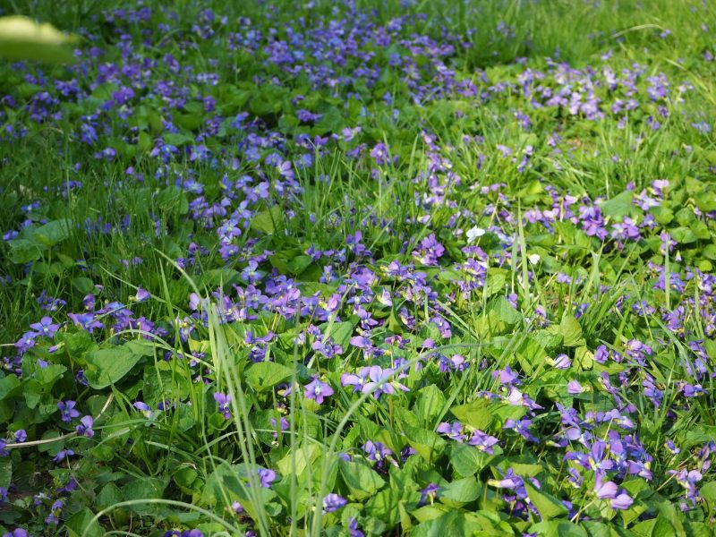 Wild Violets Blooming in the Grass | Horseradish & Honey Blog