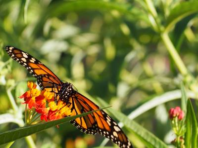 Monarch Butterfly in the Garden