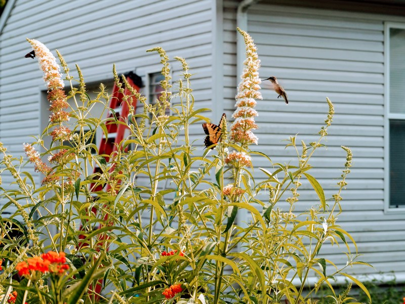 Hummingbird, Eastern Tiger Swallowtail & Red Admiral on Butterfly Bush | Horseradish & Honey Blog