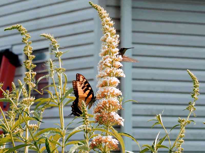 Hummingbird and Eastern Tiger Swallowtail on Butterfly Bush | Horseradish & Honey Blog