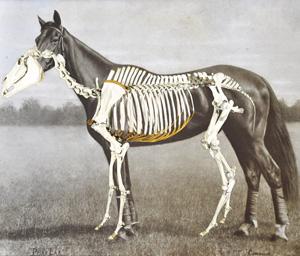 Phar Lap's skeleton overlaid with a 1930s photo.