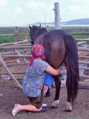 A Kazakh woman milking a mare at Kenetkul village, northern Kazakhstan.