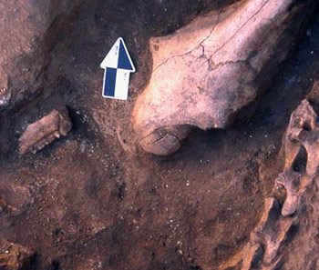 Horse head and neck sacrifice in a pit outside an ancient house at the Botai site of Krasnyi Yar, northern Kazakhstan.