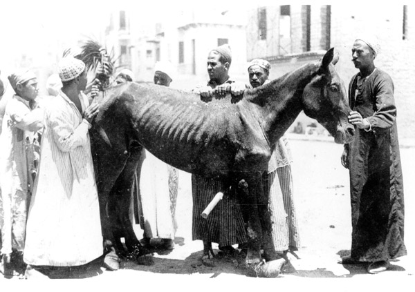 Above and below: two of the first horses rescued by Dorothy Brooke after her appeal in 1931. All British army horses were branded with a broad arrow on the left hind quarter.