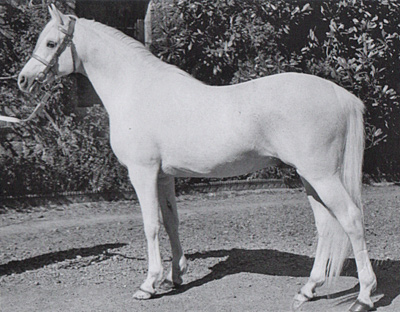 The influential arabian stallion Naseel.
