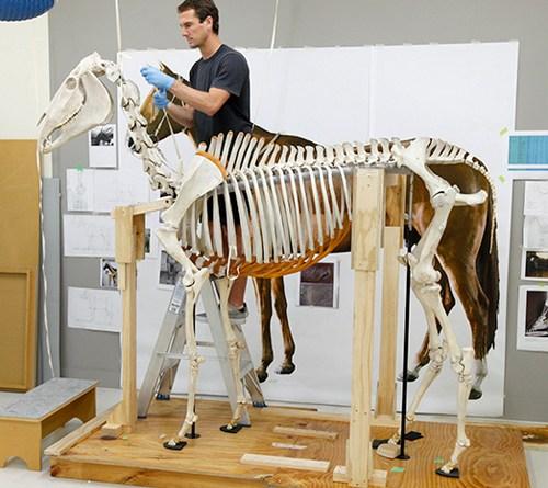 The finishing touches go on Phar Lap's skeleton