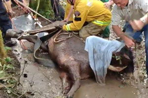 Rescuers work to get a horse out of a creek.