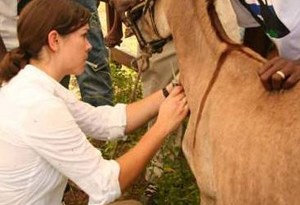A vet works on a donkey in Gambia.