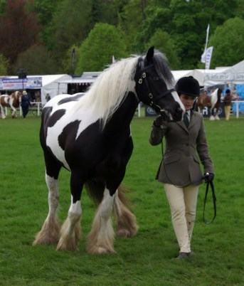 Coloured Native/Cob/Traditional horse/pony in hand class