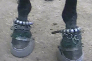 Weights and chains on a walking horse's legs.
