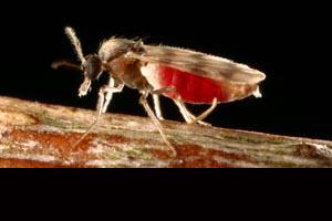 A Culicoides biting midge.