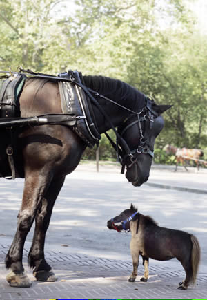 Thumbelina - the world's smallest horse, at 44.5cm tall - meets Radar, who is 200.6cm tall (19.3hh).