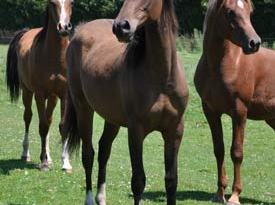 Horses older than about 15 months will geneally have developed good resistance to ascarid infection.