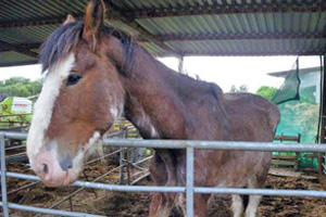 One of the four shires seized by the RSPCA.