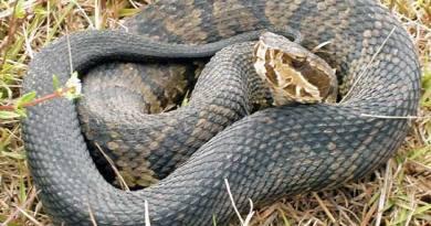 A Florida cottonmouth snake.