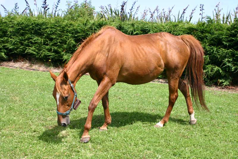 As she enters the first stage of labour, the mare may walk continually, swish her tail, look at her sides, or kick at her abdomen.