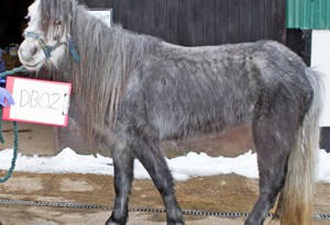 "Nico's ""before"" shot on arrival at World Horse Welfare."