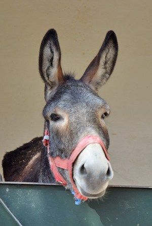 An inpatient donkey at SPANA's Marrakech centre