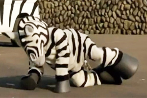 The escaped zebra is subdued by a tranquiliser dart.
