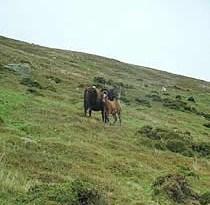 A wild Carneddau pony mare and foal.