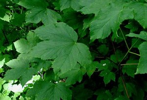 Sycamore Maple leaves (Acer pseudoplatanus).
