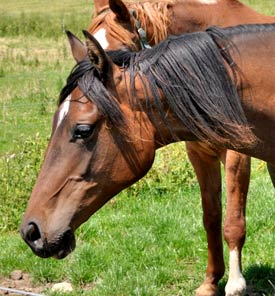 Scammers take pictures of quality horses from the internet and write an ad designed to tempt buyers.